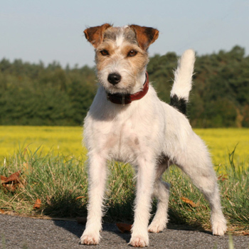 Parson Russell Terrier Breed Guide Learn About The