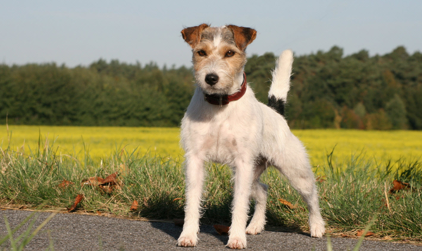 Parson Russell Terrier...