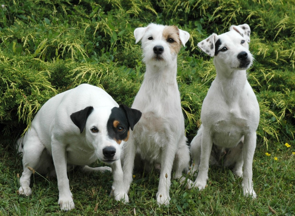 Parson Russell Terrier Breed Guide - Learn about the ... | 1030 x 754 jpeg 286kB