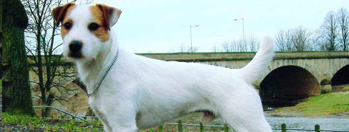 Parson Russell Terrier Breed Guide - Learn about the ...