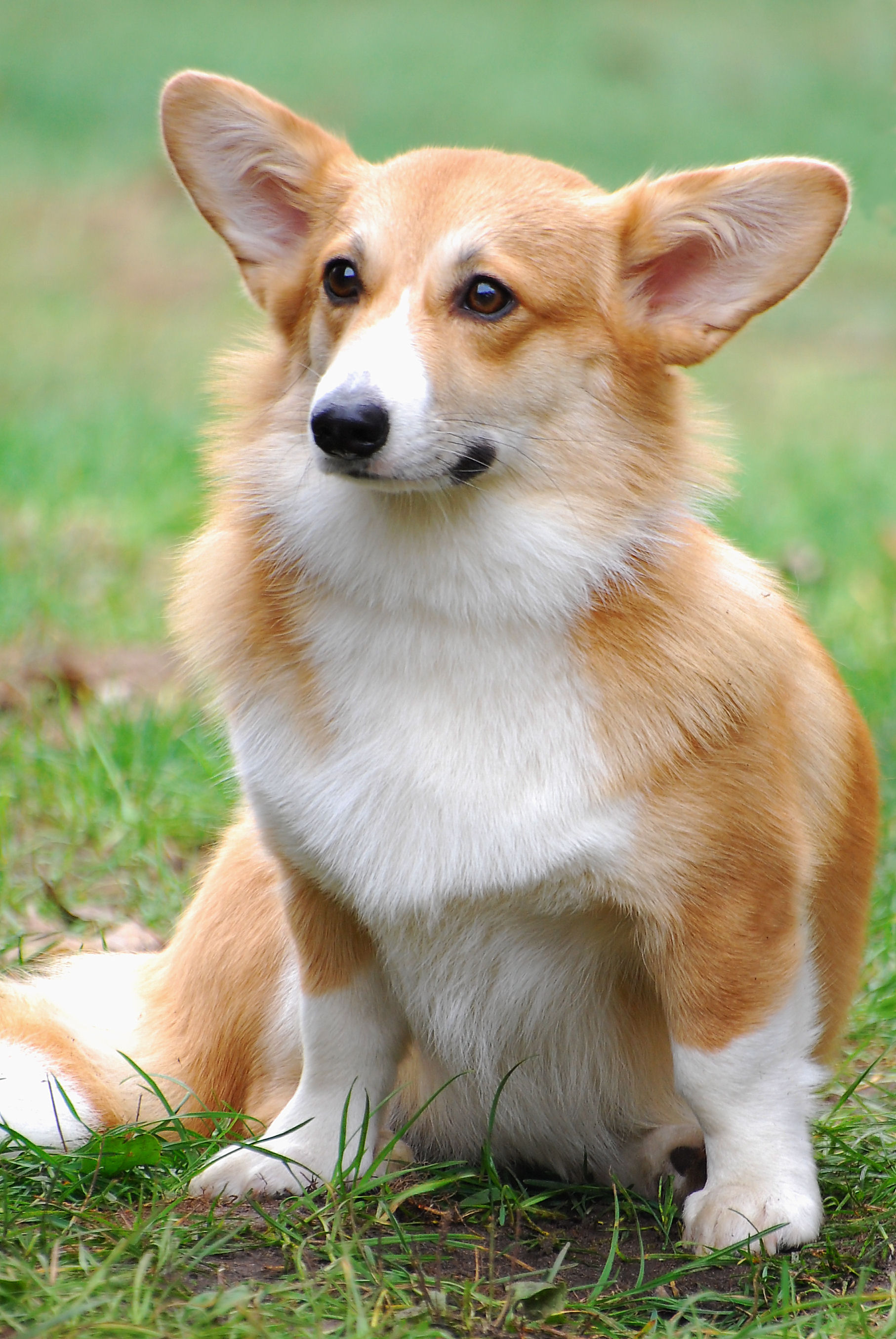 Pembroke Welsh Corgi Breed Guide - Learn about the ... - photo#29