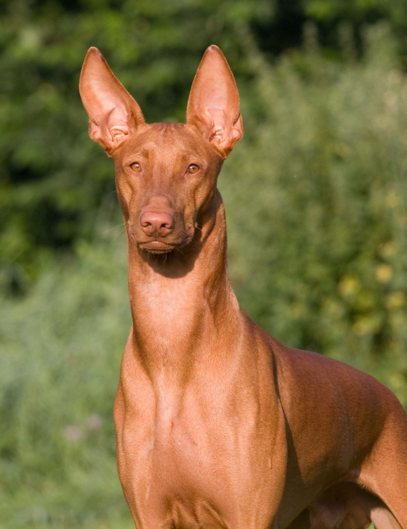 Pharaoh Hound Breed Guide Learn About The Pharaoh Hound