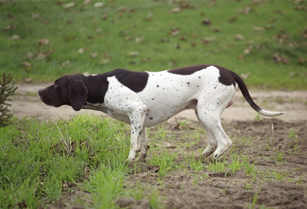 Pointer Breed Guide Learn About The Pointer