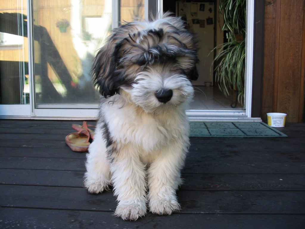 Polish Lowland Sheepdog Breed Guide Learn About The