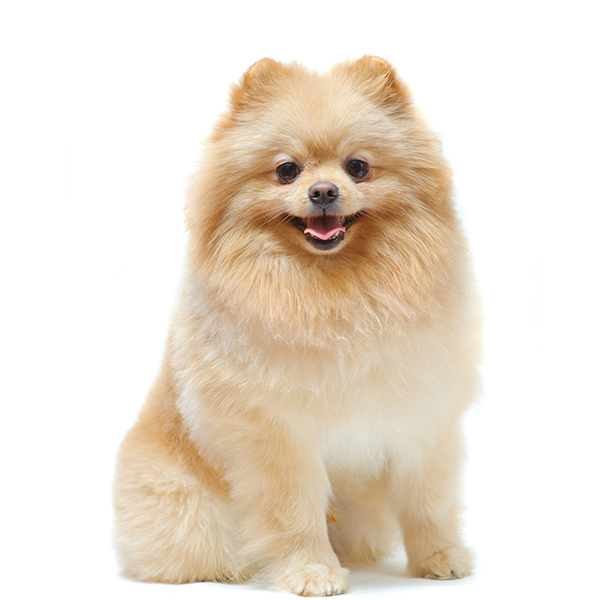 photos of pomeranian pomeranian breed guide learn about the pomeranian 9600