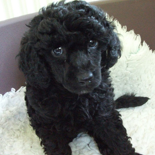 poodle breed guide learn about the poodle