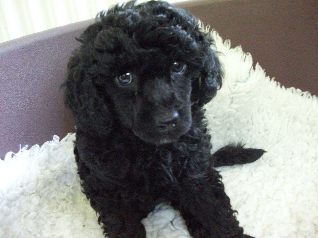 Poodle Miniature Breed Guide  Learn about the Poodle Miniature.
