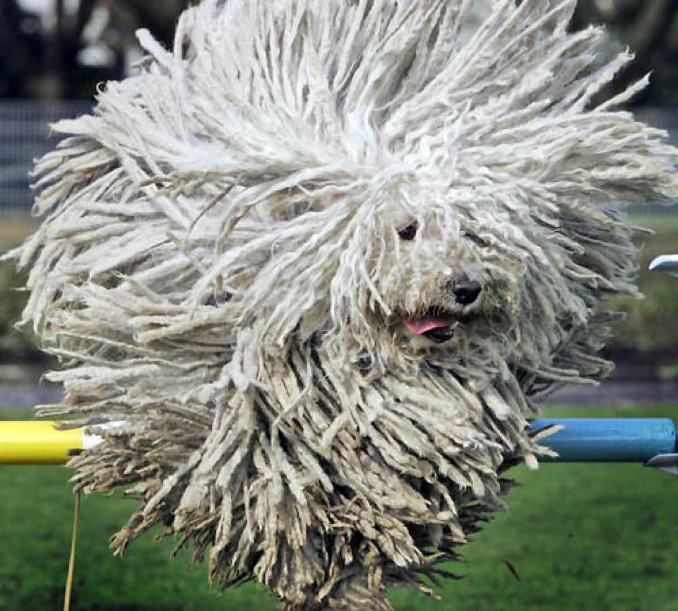 Komondor Jumping Komondor Dog Komondor dog