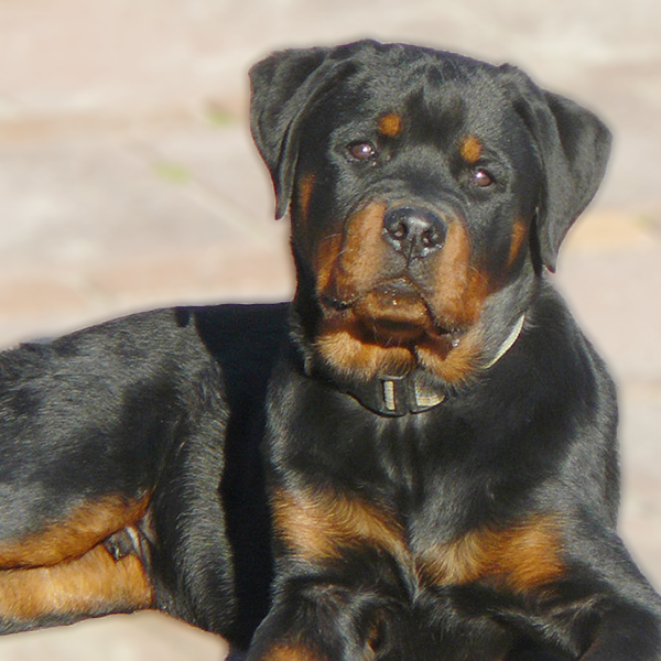 Rottweiler Breed Guide Learn About The Rottweiler