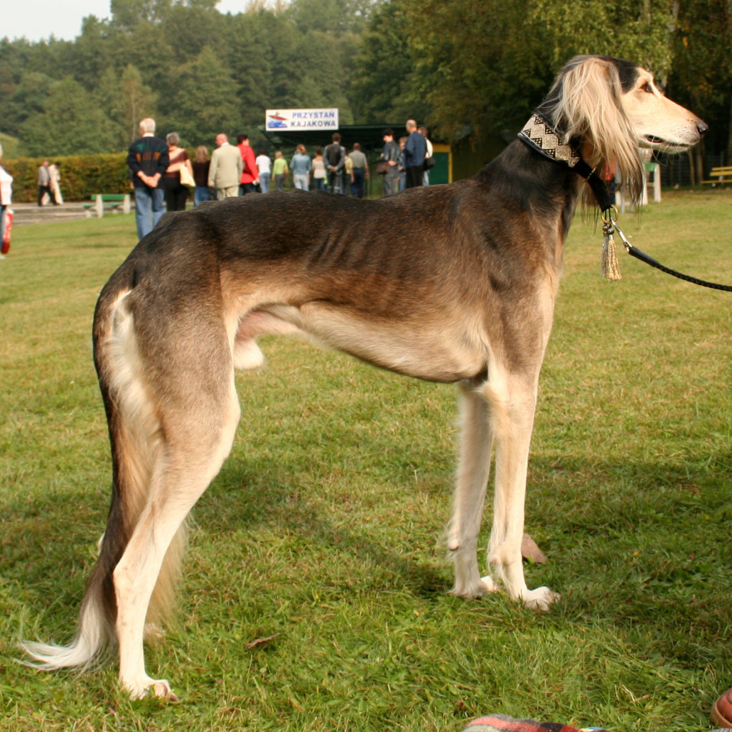 Saluki (or Gazelle Hound) Breed Guide - Learn about the ...