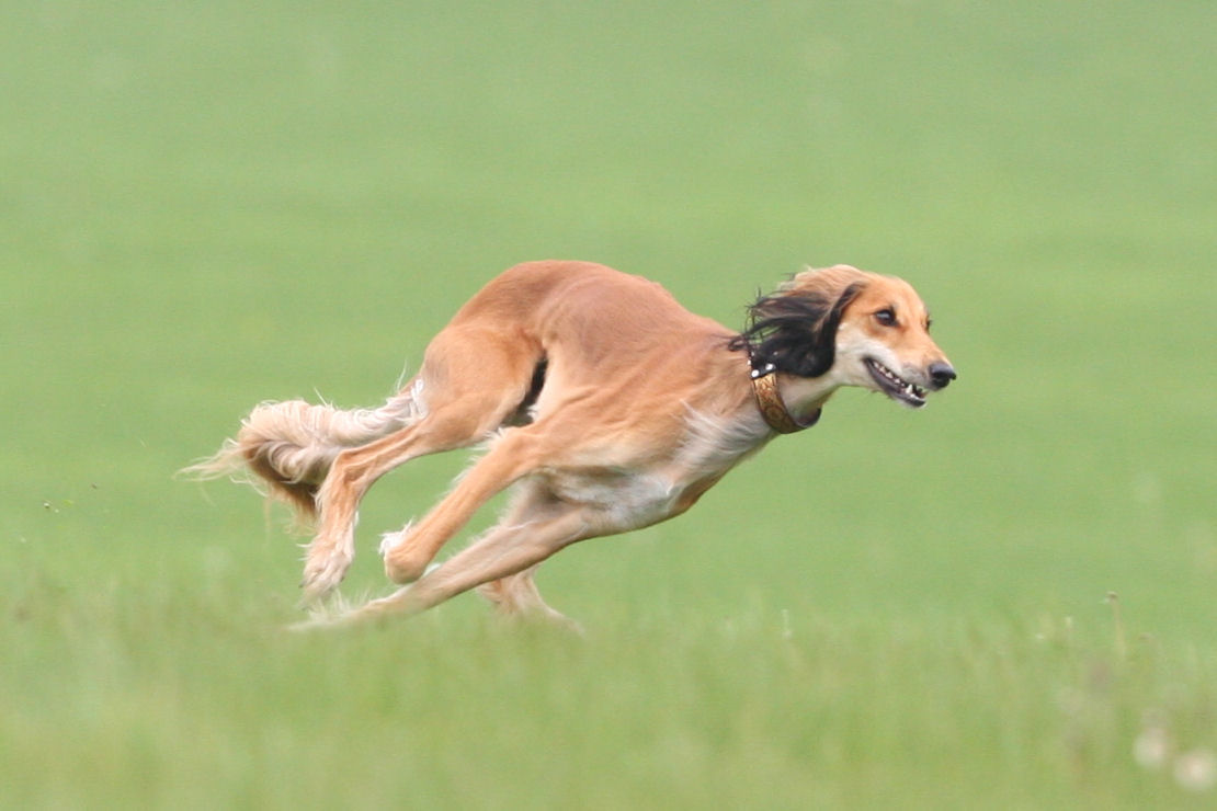 saluki dog. saluki (or gazelle hound) breed guide - learn about the hound). dog