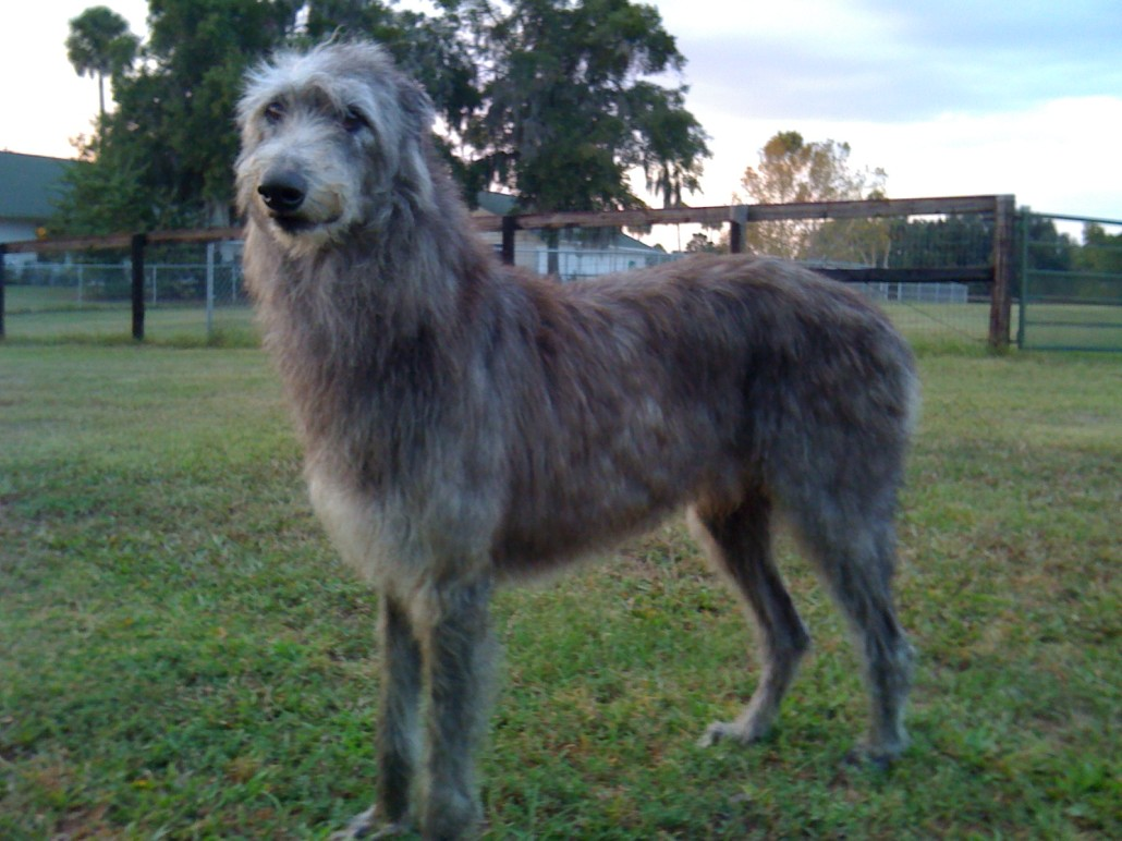 Scottish Deerhound Breed Guide Learn About The Scottish