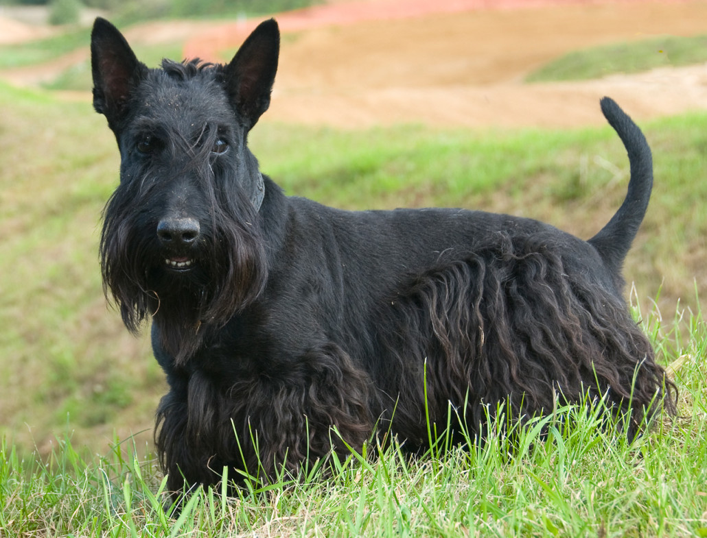 Scottish Terrier Breed Guide Learn About The Scottish