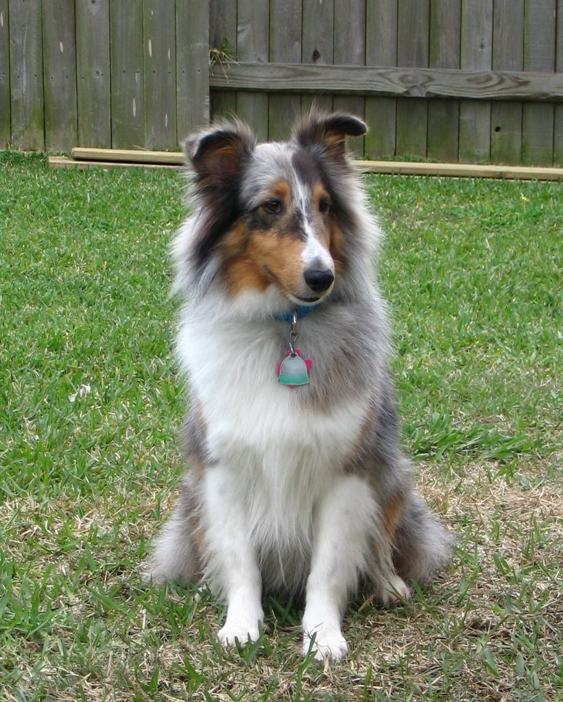 shetland sheepdog breed guide learn about the shetland sheepdog. Black Bedroom Furniture Sets. Home Design Ideas