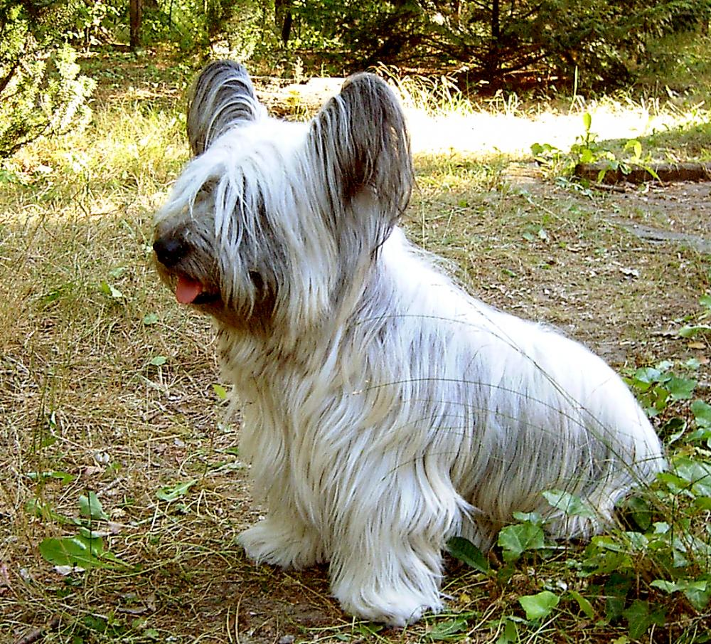 Skye Terrier Breed Guide Learn About The Skye Terrier