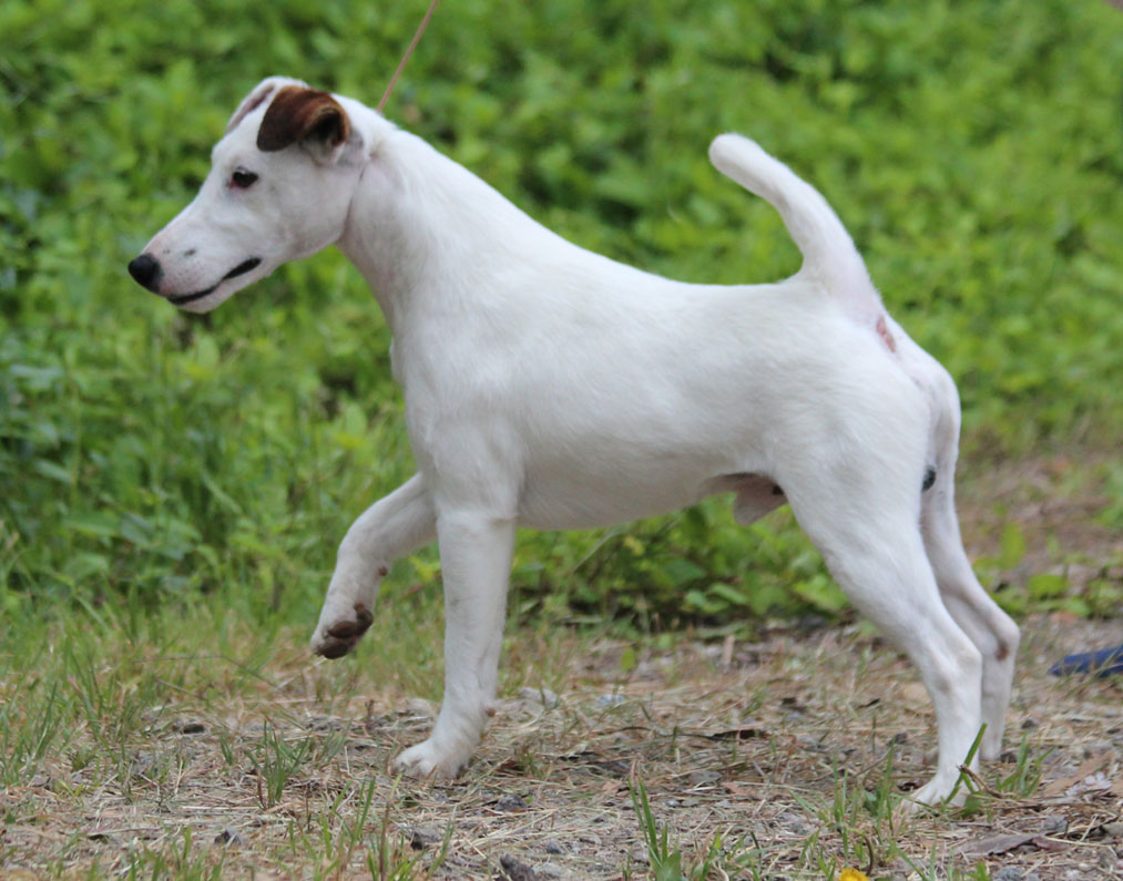 Smooth Fox Terrier Breed Guide Learn About The Smooth