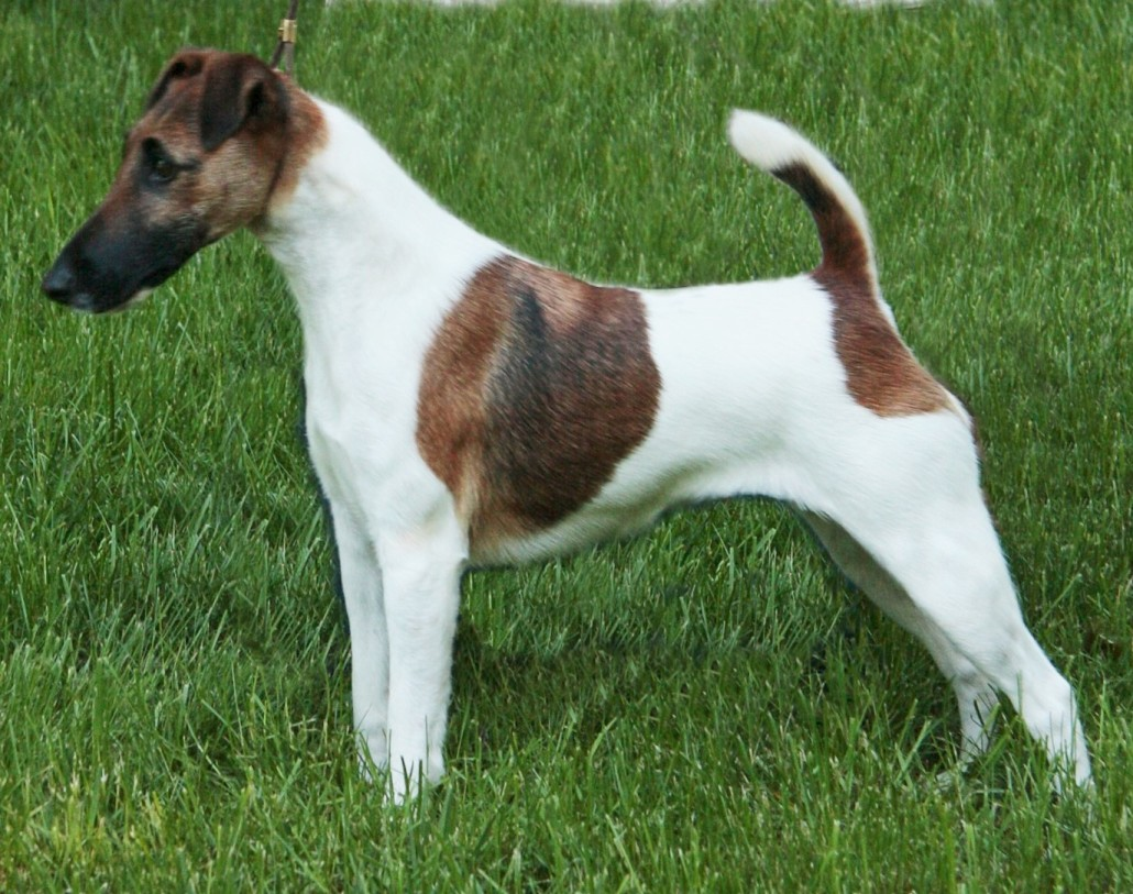 Smooth Fox Terrier Breed Guide - Learn about the Smooth Fox Terrier.