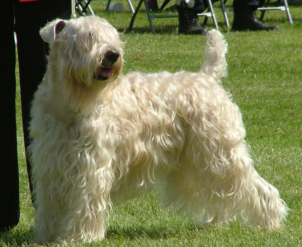 Soft Coated Wheaten Terrier Breed Guide - Learn about the ...
