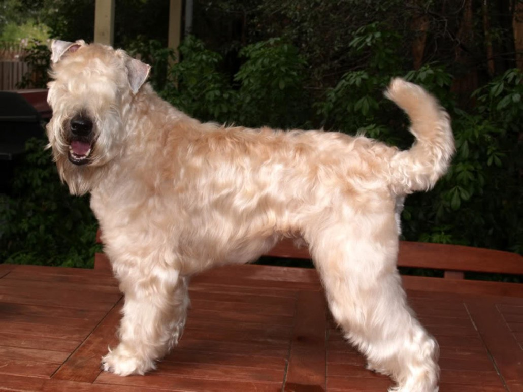 Soft Coated Wheaten Terrier Breed Guide Learn About The