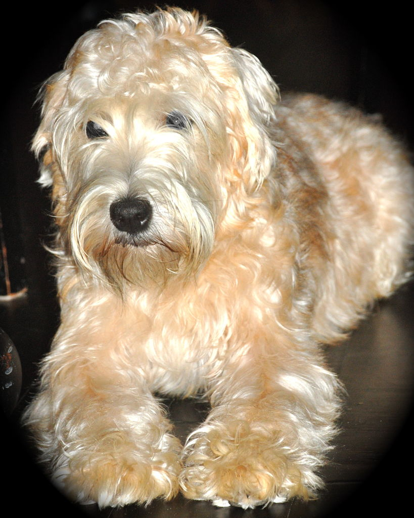What does a wheaten terrier look like