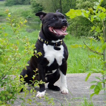 Staffordshire Bull Terrier Breed Guide Learn About The