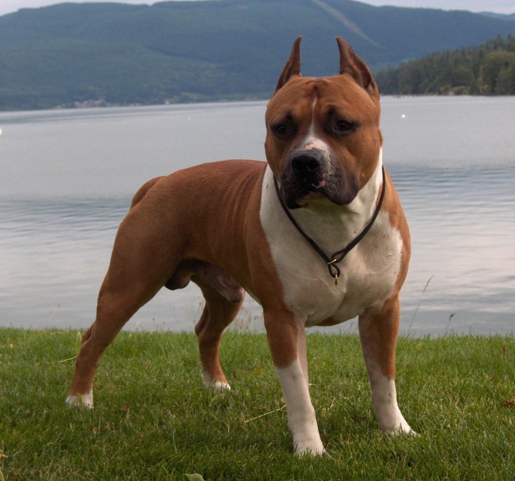 Best Food For Staffordshire Bull Terrier