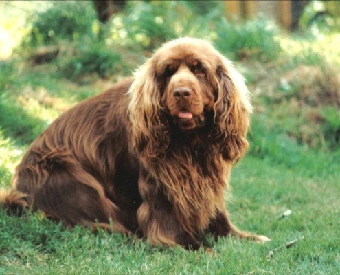 Sussex Spaniel Apartment Medium Dog Breeds Arch...