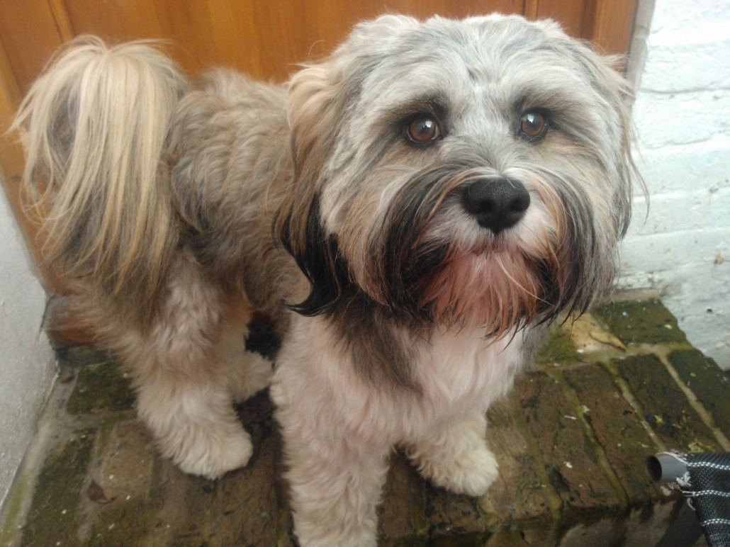 Tibetan Terrier Breed Guide Learn About The Tibetan Terrier