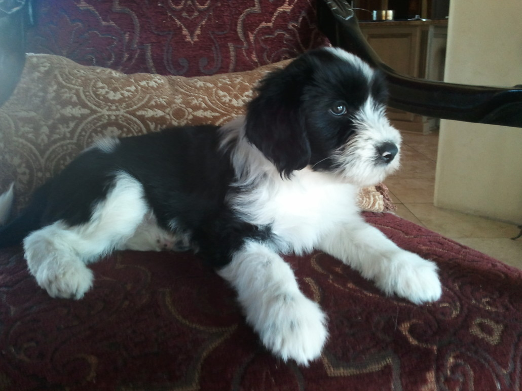 tibetan terrier puppies available tibetan terrier breed guide learn about the tibetan terrier 1759