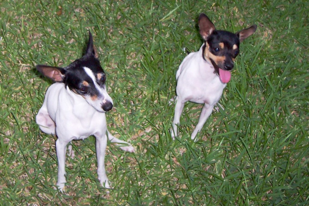 Toy Fox Terrier Breed Guide Learn About The Toy Fox Terrier