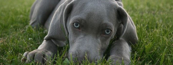 Small Dog Breeds With Blue Eyes