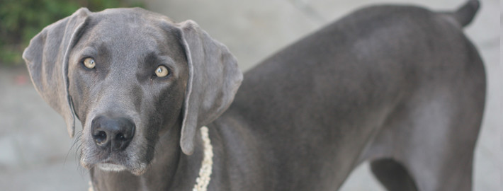 Weimaraner Breed Guide Learn About The Weimaraner