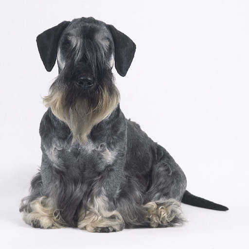 Cesky Terrier Breed Guide Learn About The Cesky Terrier
