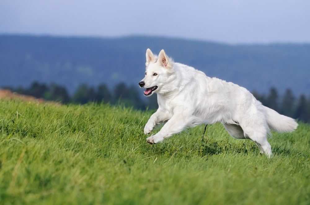 White Shepherd Dog Breed Guide Learn About The White