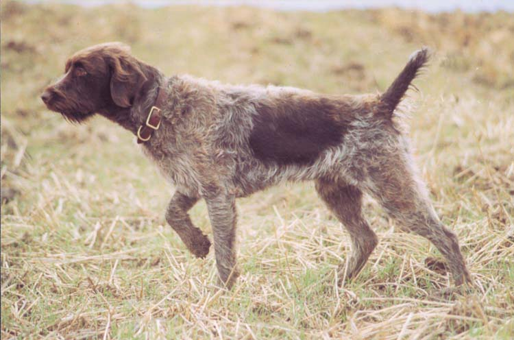Wirehaired Pointing Griffon Breed Guide - Learn about the Wirehaired ...