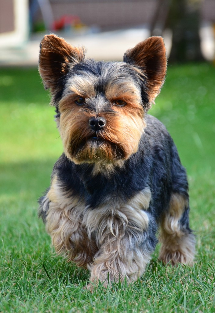 yorkshire terrier breed guide learn about the yorkshire. Black Bedroom Furniture Sets. Home Design Ideas