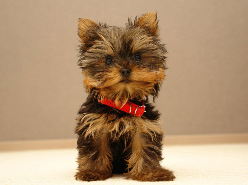 Yorkshire Terrier Breed Guide - Learn about the Yorkshire ...