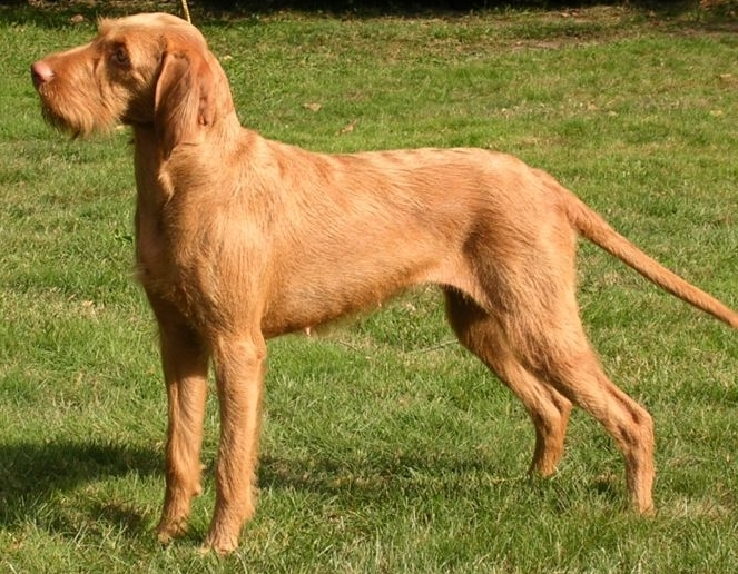 Wirehaired Vizsla Breed Guide - Learn about the Wirehaired Vizsla.