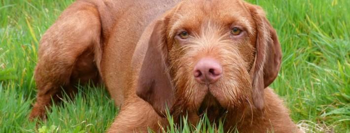 Dog Breeds Beginning with V Pet Paw