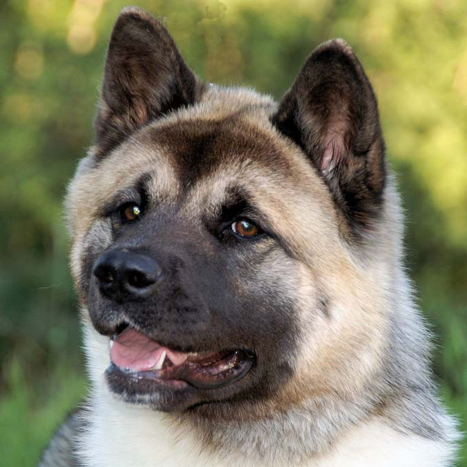 American Akita Breed Guide Learn About The American Akita