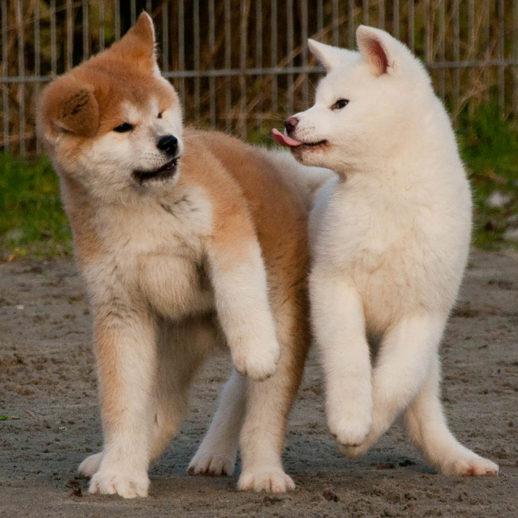 American Akita Breed Guide - Learn about the American Akita.
