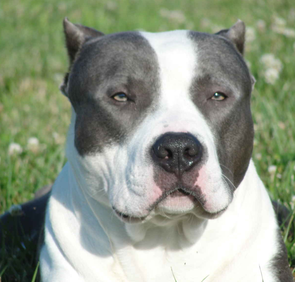 american bully breed guide learn about the american bully