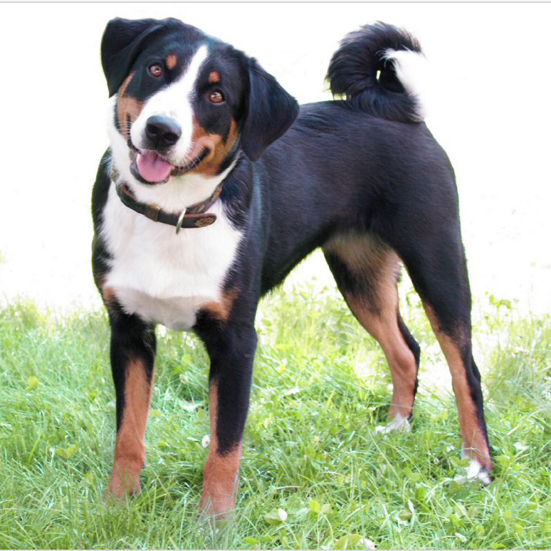 Appenzeller Sennenhund Breed Guide Learn about the