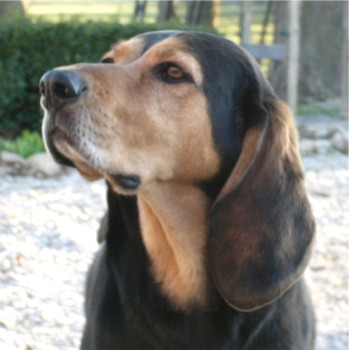 Austrian Black & Tan Hound Breed Guide - Learn about the ...