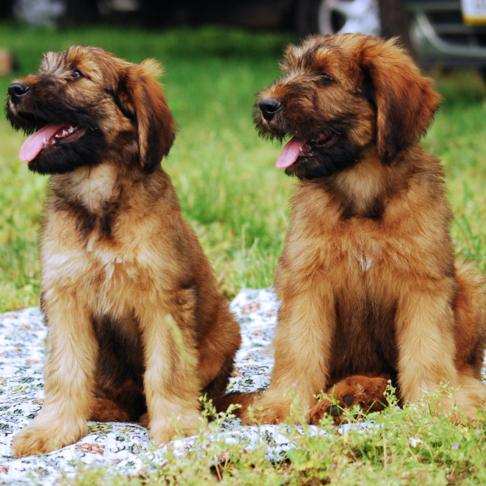 Tire Size Guide >> Basque Shepherd Breed Guide - Learn about the Basque Shepherd.