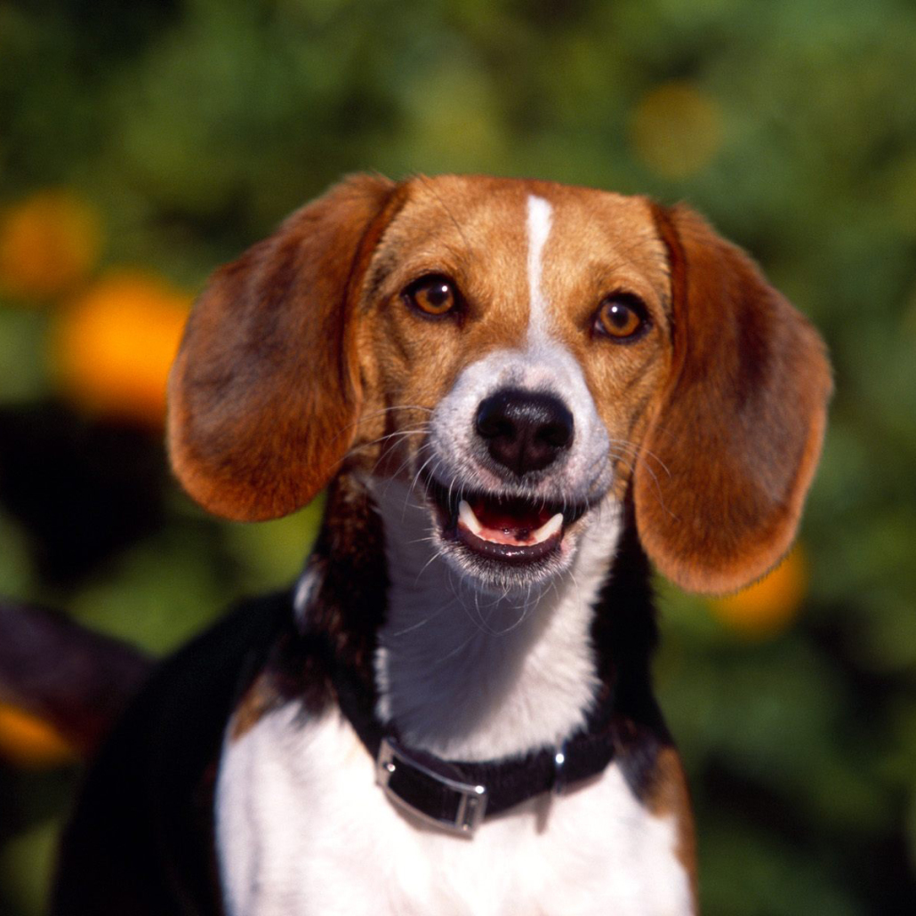 Basset Art 233 Sien Normand Breed Guide Learn About The