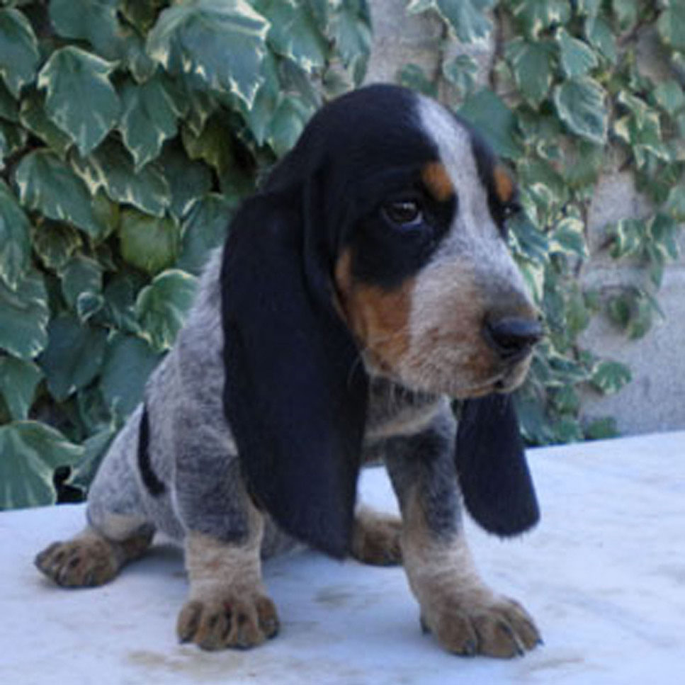 Basset Bleu De Gascogne Breed Guide Learn About The