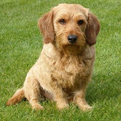http://www.petpaw.com.au/wp-content/uploads/2014/09/Basset-Fauve-de-Bretagne-puppy1.jpg