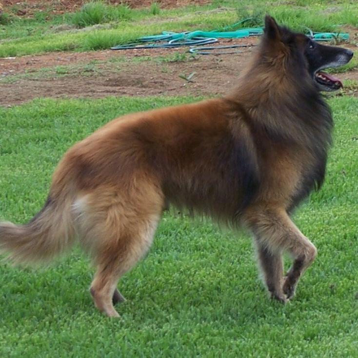Belgian Shepherd Groenendael Breed Guide Learn About The