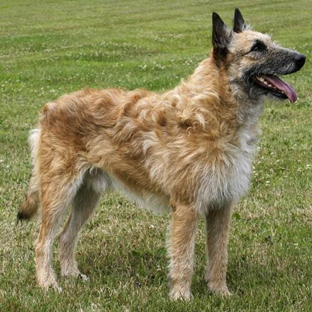 belgian shepherd laekenois breed guide learn about the